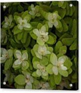 Cascading White Blossoms 3 Acrylic Print