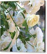 Cascading White Roses Acrylic Print