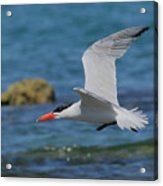 Caspian Tern Acrylic Print by Tony Brown
