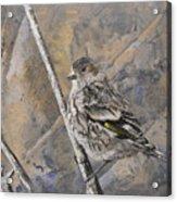 Cassin's Sparrow Acrylic Print