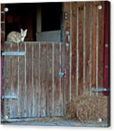 Cat And Barn Acrylic Print