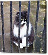 Cat At The Gate Acrylic Print