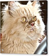 cat Acrylic Print