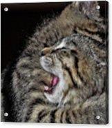 Cat Fight Acrylic Print