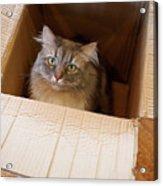 Cat In A Box Acrylic Print