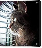 Cat Looking Out Window Acrylic Print