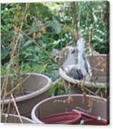 Cat Playing In Flowerpot Acrylic Print