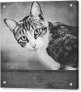 Cat Portrait 4 Acrylic Print