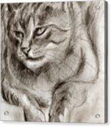 Cat Study Drawing No One Acrylic Print