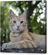 Cat Volterra Italy Acrylic Print