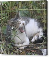 Cat Yawning In The Garden Acrylic Print