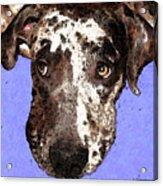 Catahoula Leopard Dog - Soulful Eyes Acrylic Print by Sharon Cummings