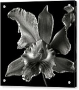 Catalea Orchid In Black And White Acrylic Print