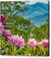 Catawba Rhododendron At The Craggy Acrylic Print