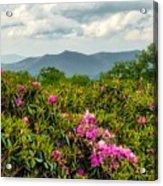 Catawba Rhododendrons Acrylic Print