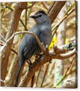 Catbird In Spring Acrylic Print