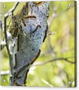 Caterpillars #2 Acrylic Print by Stephanie  Varner