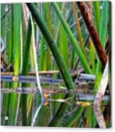 Cattail Reflections Acrylic Print