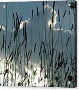 Cattail Sky Acrylic Print