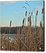Cattails At Skymount Pond Pa Acrylic Print