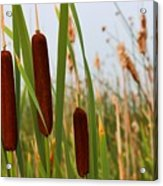 Cattails Delight Acrylic Print