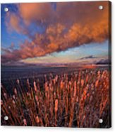 Cattails In The Wind Acrylic Print