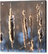 Cattails In Winter Acrylic Print