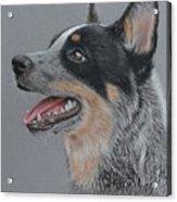 Cattle Dog Acrylic Print