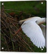 Cattle Egret Begins Flight With Nest Materials - Digitalart Acrylic Print