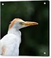 Cattle Egret Close-up Acrylic Print