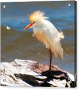 Cattle Egret In Breeding Plumage Acrylic Print