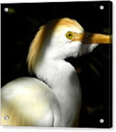 Cattle Egret In Shadow Acrylic Print