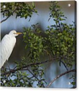 Cattle Egret In The Morning Light Acrylic Print