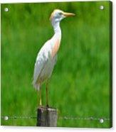 Cattle Egret On Post Acrylic Print