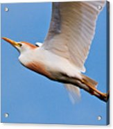 Cattle Egret On The Wing Acrylic Print