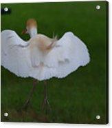 Cattle Egret Prepared For Landing - Digitalart Acrylic Print