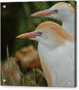 Cattle Egrets Dry Brushed Acrylic Print