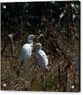 Cattle Egrets In A Pasture Acrylic Print