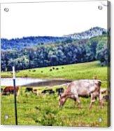 Cattle Farm Acrylic Print