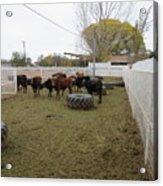 Cattle Acrylic Print
