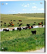 Cattle Graze On Reclaimed Land Acrylic Print