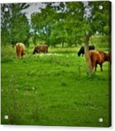 Cattle Grazing In A Lush Pasture Acrylic Print
