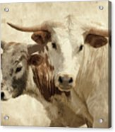 Cattle Steers Acrylic Print