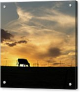 Cattle Sunset Silhouette Acrylic Print