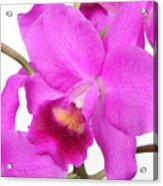 Cattleya Orchid Acrylic Print by Lynn Berreitter