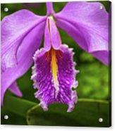 Cattleya Purpurata Acrylic Print