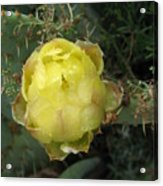 Catusbud With Dew Acrylic Print