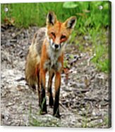 Cautious But Curious Red Fox Portrait Acrylic Print