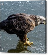Cautious Eagle Acrylic Print