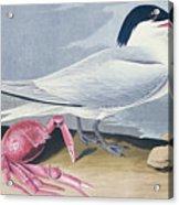 Cayenne Tern Acrylic Print by John James Audubon